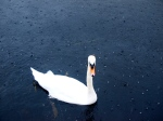 Swan in Rain